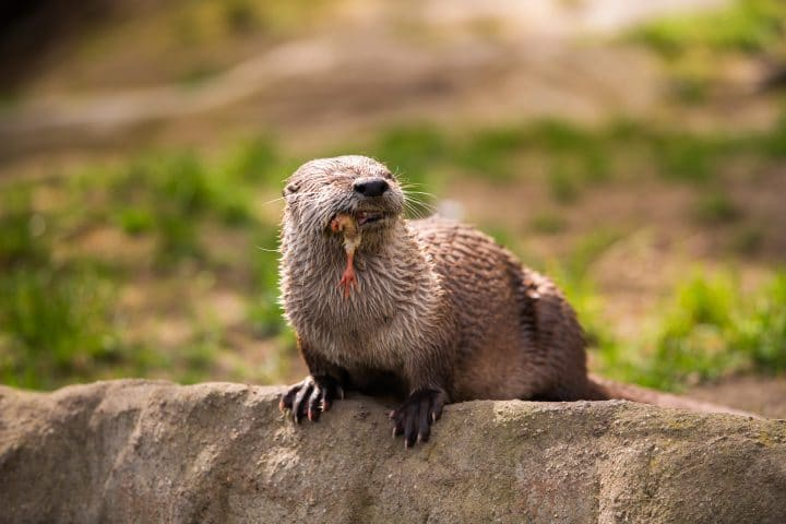 otter standing on a rock with prey in the teeth