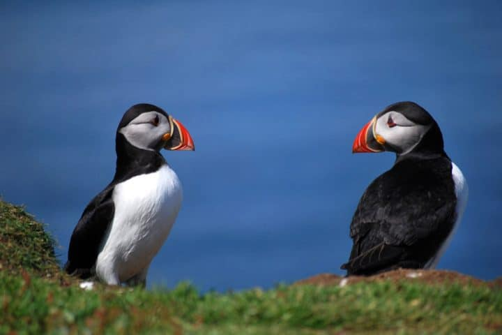 two puffins looking at each other