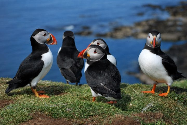group of puffins