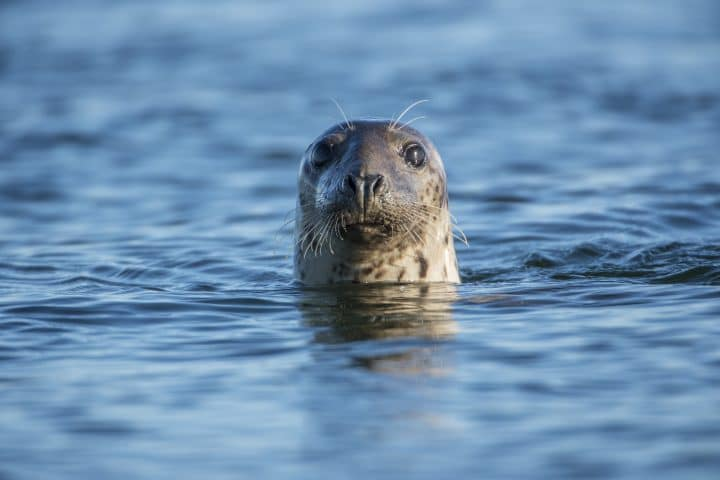 Common seal, head shot, swimming in the sea. close up