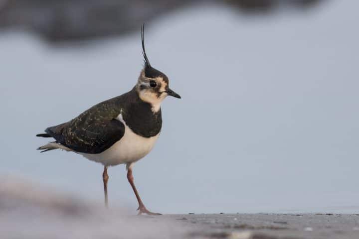 Lapwing (Vanaellus vanellus)