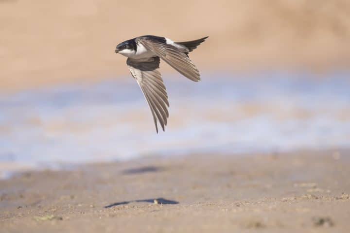 House martin, Delichon urbica, flying with mud in beak for nest building