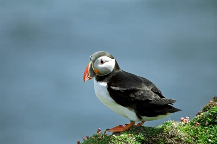 Puffins Chatting, Sumburgh Head, Shetland, Scotland