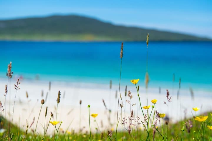 Close up of spring flowers with white sandy beach, turquoise water and an island in the background, Luskentyre, Isle of Harris, Hebrides, Scotland.