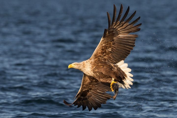 White-tailed sea eagle with fish in flight