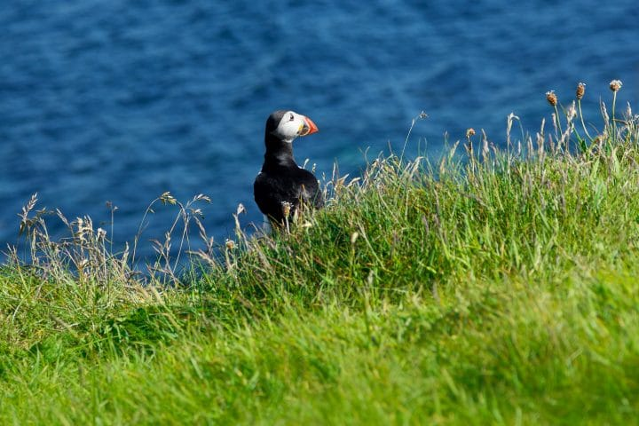 Single Puffin on green grass in front of the ocean at the scottish isle of Staffa, copy space