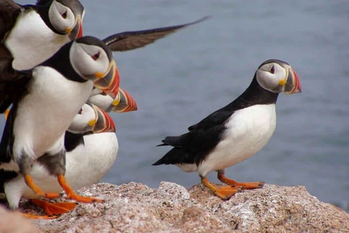 Atlantic Puffins coming in to land