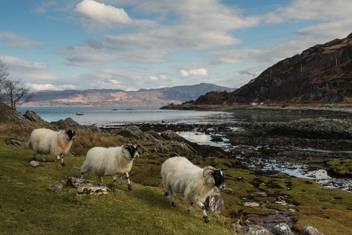 The seaweed covered shoreline at Glenuig, Scotland overlooking the Sound of Arisaig with three sheep in the foreground