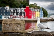 Selective focus on a seagull on the quayside, with the colourful village of Tobermory in the background. Isle of Mull, Scotland, UK