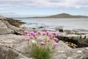 Thrift or Sea Pink flowers (Armeria maritima) growing amongst rocks on the beach with view to Eriskay from Kilbride, South Uist, Outer Hebrides, Western Isles, Scotland, UK, Britain, Europe